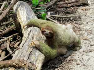 A sloth lying on the ground surrounded by tree branches